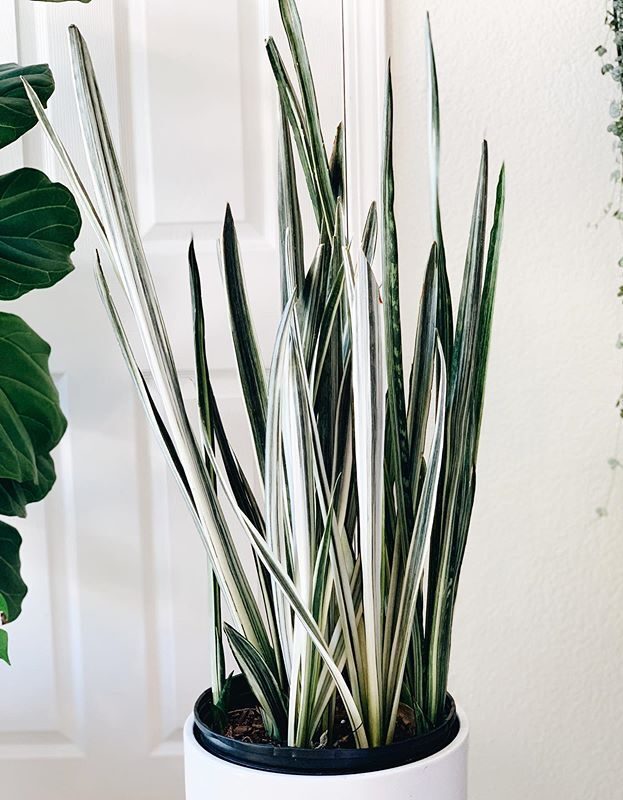 Sansevieria Trifasciata Bantels Sensation image number 14. All credits to foreverplanty.