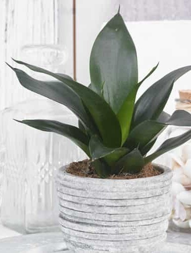 A beautiful and healthy Sansevieria Trifasciata Black Dragon known as Sansevieria Black Dragon.