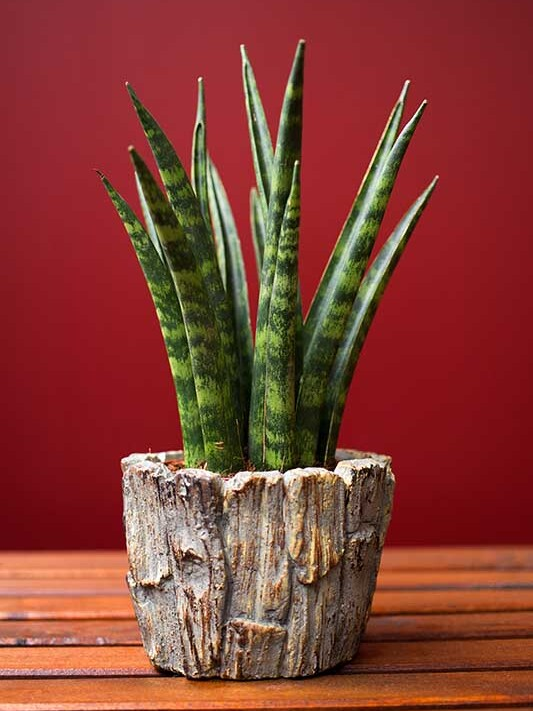 Sansevieria Trifasciata Cylindrica image number 1. All credits to Greenandvibrant.