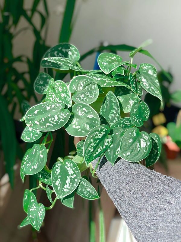 A beautiful and healthy Scindapsus Pictus Argyraeus known as Silver Pothos.
